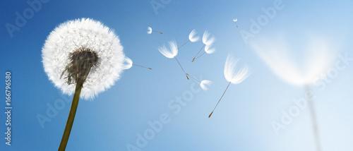 olsniewajacy-dmuchawiec-na-blekitnym-niebie