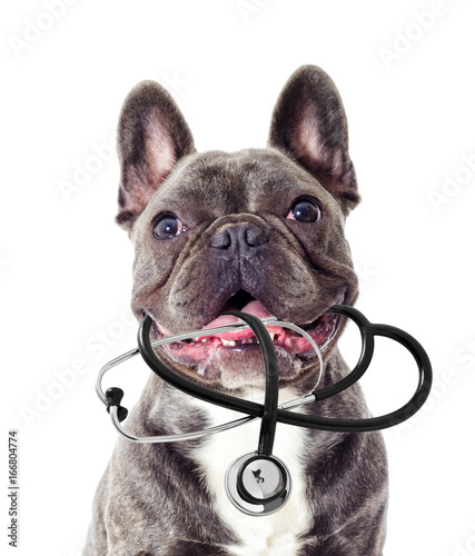 Keuken foto achterwand Franse bulldog Veterinarian dog and stethoscope