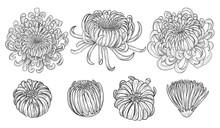 Chrysanthemum Vector On Brown ...