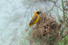 Cute Yellow Tiny Bird Weaving ...