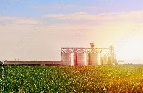 Grain in corn Field Canvas Print