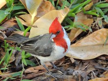 Red-crested Cardinal On The Gr...