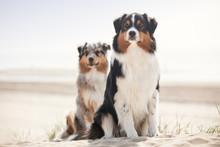 2 Hunde Australian Shepherd Si...