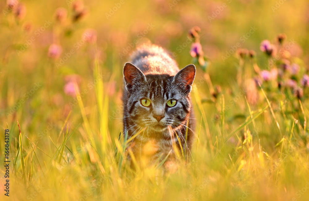Cat in meadow, back lit by golden evening summer light