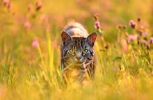 Cat In Meadow, Back Lit By Gol...