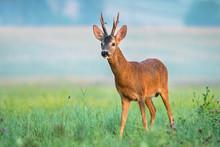 Wild Roe Deer With Big Antlers In A Field
