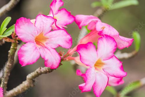 Plakat Azalia kwiaty