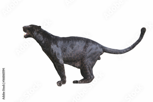 Montage in der Fensternische Panther Black Leopard isolated on white background