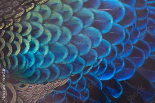 Foto op Aluminium Pauw Beautiful peacock feathers (Green peafowl)
