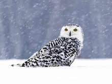 Snowy Owl Sitting On The Snow. Winter Scene With Snowflakes In Wind