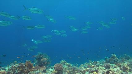 Fototapeta na wymiar Big-eye Trevallies on a colorful coral reef.
