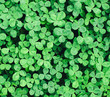 Beautiful background with green clover leaves for Saint Patrick's day.