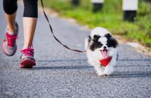 Pomeranian Dog Running Exerci...