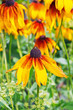 The popular ornamental plant Rudbeckia fibrous ( lat. Rudbeckia Hirta )