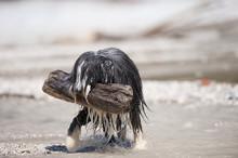 Very Wet Bearded Collie Dog Ca...