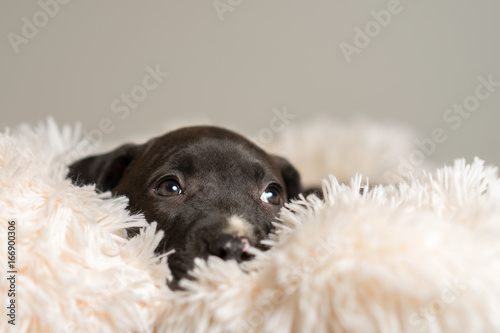 Deurstickers Franse bulldog Mix breed dark grey puppy canine dog lying down on soft white blanket looking happy, pampered, hopeful, dreamy, sweet, friendly, cute, adorable, spoiled while looking up