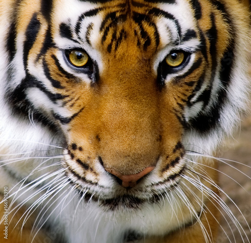 Poster Tijger tiger face full frame