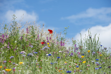 Fototapeta Beautiful vibrant landscape image of wildflower meadow in Summer
