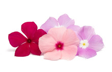 Pink Periwinkle Isolated