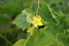 Cantaloupe Bloom With Bumble B...