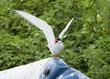 Arctic Tern. Farne Islands. Northumberland, England, UK.