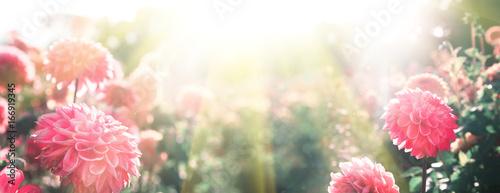 Canvas Prints Dahlia Wunderschöne Blumen im Sommer