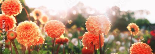 Crédence de cuisine en verre imprimé Dahlia Wunderschöne Blumen im Sommer