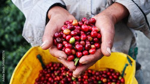 Rolnicze ręki pokazuje zebrane kawowe jagody