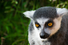 Wild Lemur That Is Curious