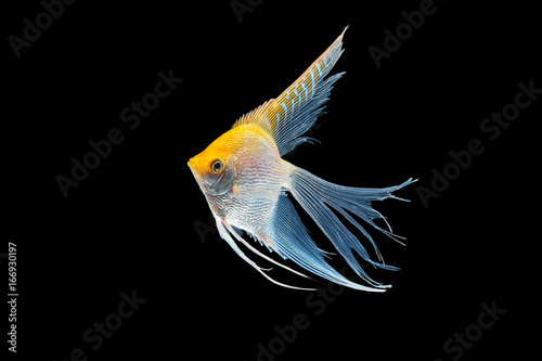 Angel fish isolated in black background Canvas Print