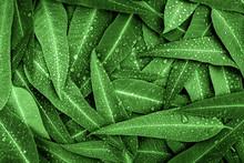 The Nature Green Eucalyptus Le...