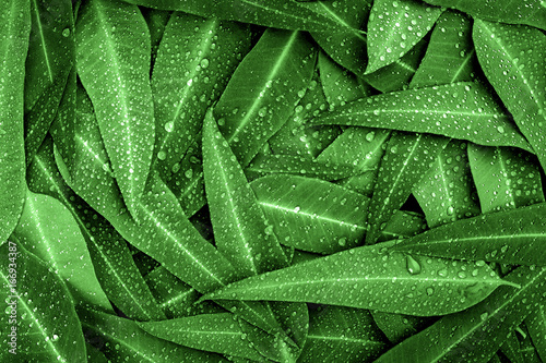The Nature green Eucalyptus leaves with raindrop  background