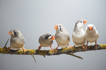 Zebra Finch Flock Perched On A Branch.
