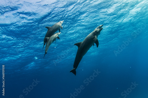 Fotografie, Obraz  A dolphins family pod of four animals with baby dolphin that staying close with its mom  underwater