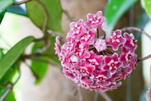 Red Hoya Flowers. (Hoya Parasitica (Roxb.) In The Garden