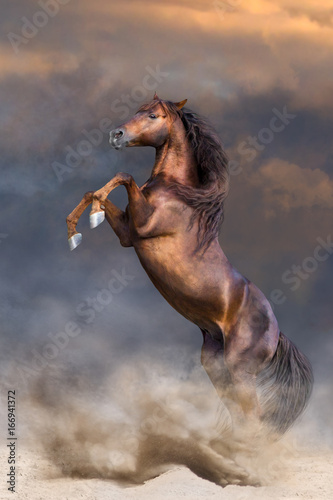 Red stallion with long mane rearing up in sunset dust