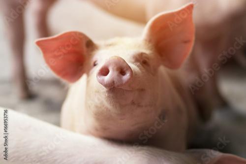 Fotografia Small piglet waiting feed in the farm