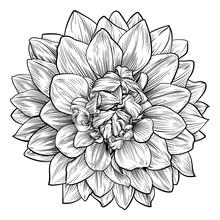 Dahlia Or Chrysanthemum Flower...