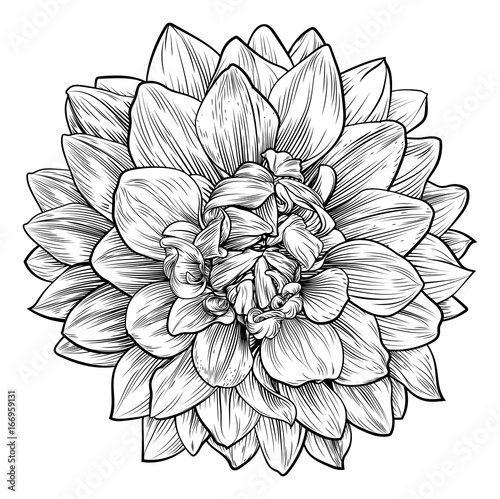 Dahlia or Chrysanthemum Flower Woodcut Etching Fototapeta