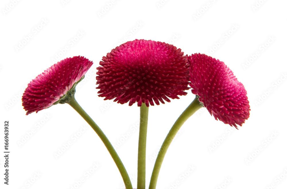 Fototapeta Beautiful daisy flowers isolated