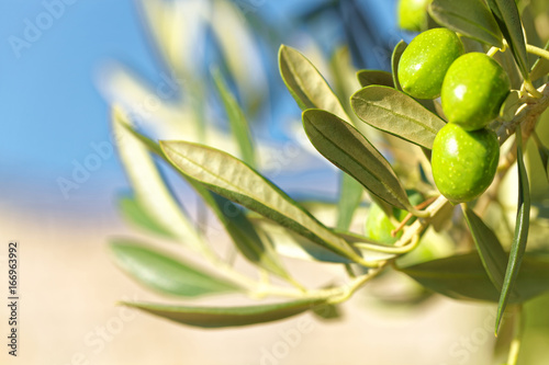 Tuinposter Olijfboom Green olives on olive tree - outdoors shot