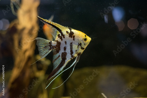 Angelfish scalare small aquarium fish swimming in the aquarium Canvas Print
