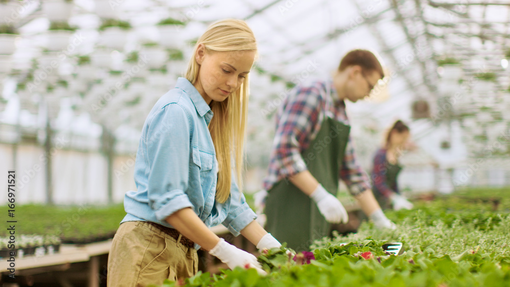 Fototapety, obrazy: Team of Happy Gardeners Busily Working, Arranging, Sorting Colorful Flowers, Vegetation and Plants in a Sunny Industrial Greenhouse.