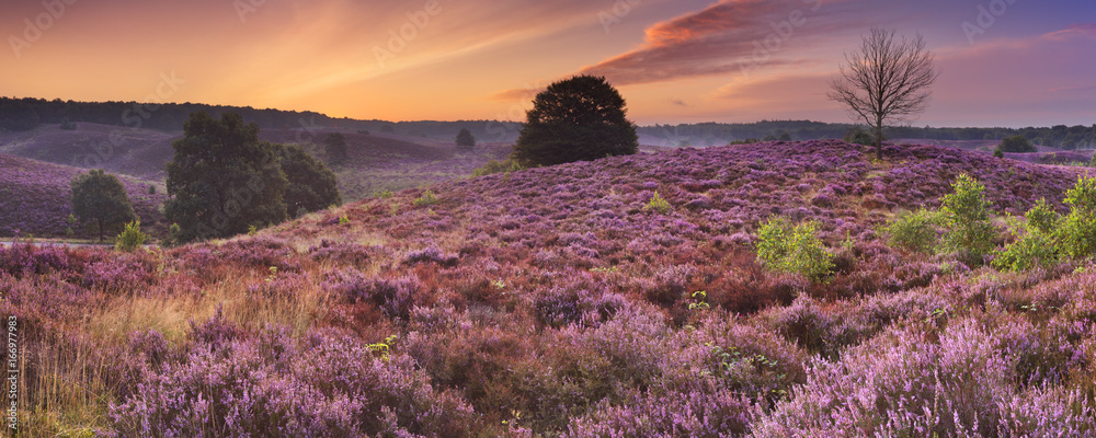Fototapety, obrazy: Blooming heather at dawn at the Posbank, The Netherlands