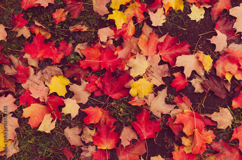 Photo  Autumn natural flat background with colorful red maple leaves on a green grass