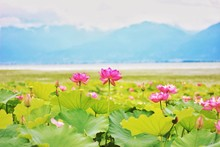 Water Lily In China