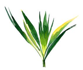 Plakat Hand painted watercolor washingtonia palm leaf. Stylized jungle foliage, isolated on white background.