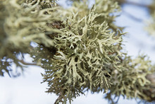 Detail Of Lichens On The Branch Of An Tree Oak