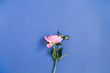 Leinwanddruck Bild - Beautiful pink peony flower on dark blue background. Flat lay, top view.