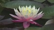 White water lily in a pond. Lotus flower. Waterlilly background. Waterlillies video footage